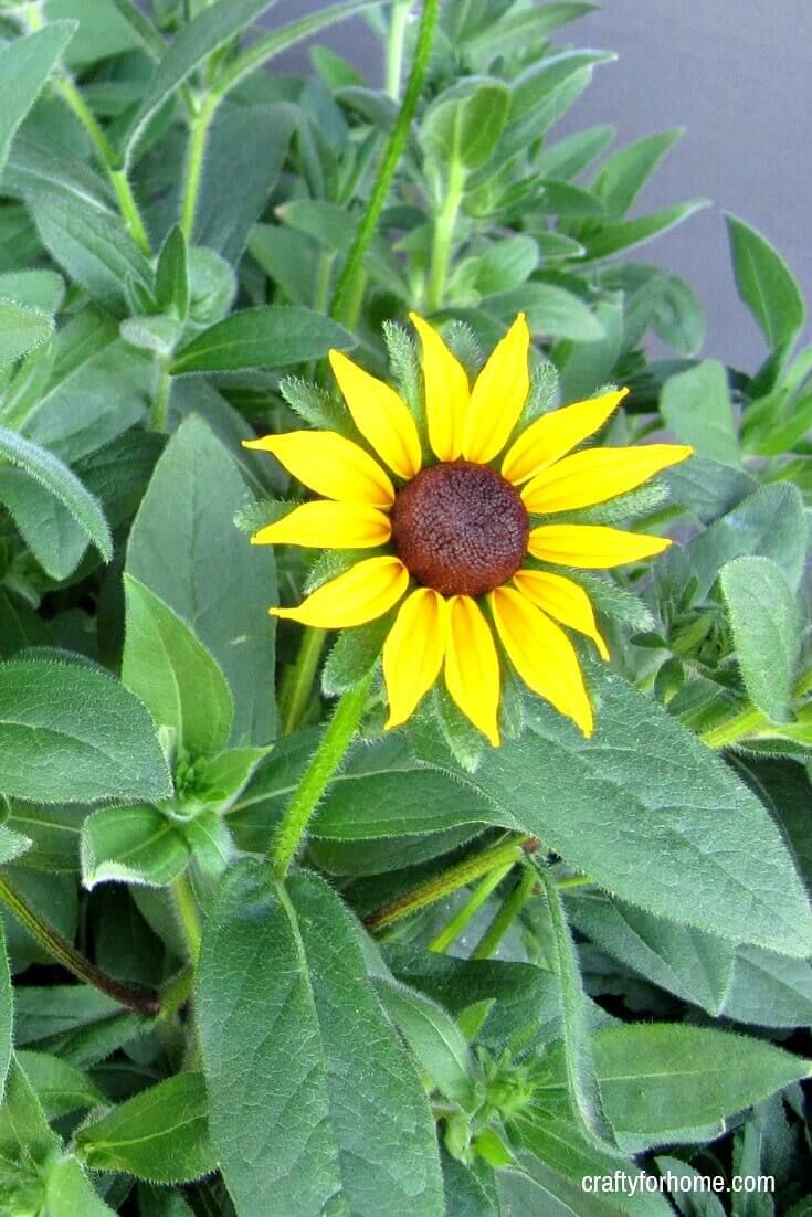 13 easy to grow perennial flower from seed flowers