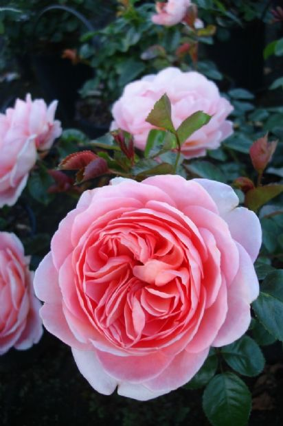 'From far away'™ Floribunda ros. 60-80 cm hög. Stora fyllda blommor med lätt doft. Blommar från sommar till sen höst.