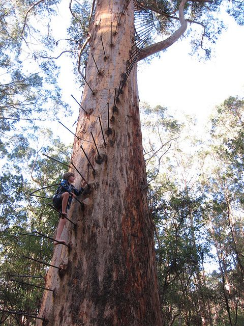 'Gloucester Tree' - photo by Alaskan Kangaroo, via Flickr; this karri tree (Eucalyptus diversicolor) near Pemberton, Western Australia that once served as a fire lookout in Gloucester National Park and is one of three that are available for visitors to climb; karri trees grow to 230 feet tall and live up to 350 years or more - info from pembertonvisitor