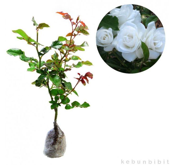 Mawar Floribunda Putih Rp 45,000