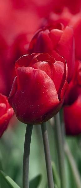 gorgeous! meadow of red tulips ✿⊱╮