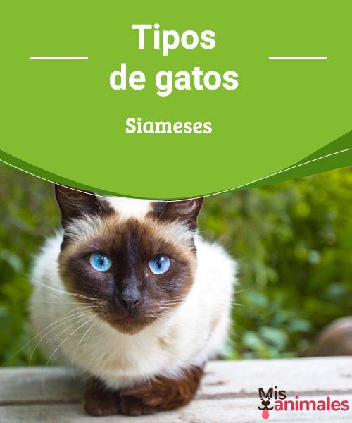 Tipos de gatos Siameses  Los gatos siameses son hermosos y esbeltos, pero ¿Sabías que existen diferentes tipos? Sigue leyendo para que descubras cuales son. #siameses #tipos #curiosidades #gatos