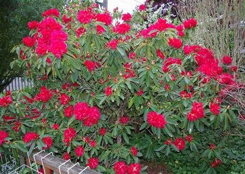 Busuki Ostra czerwień kwiatów nie pozwala przejść obojętnie obok kwitnących krzewów.