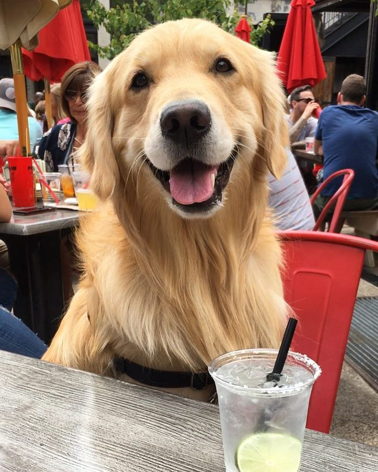 "1,871 Likes, 22 Comments - Porter the Golden Retriever (@porter_the_golden) on Instagram: ""calling all Chicago furends! who wants to pawty with me this saturday from 3-5 pm at my fave west…"""