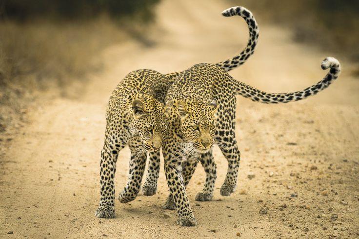 David Rosenzweig-David captured the bond between a mother and child in the Timbavati Game Reserve in Mpumalanga, South Africa.Βραβείο «Νέος φωτογράφος Φύσης της χρονιάς». Μια λεοπάρδαλη προχωράει δίπλα δίπλα με το παιδί της στο προστατευόμενο πάρκο Τιμπαβάτι στη νότια Αφρική. «Το αιώνιο δέσιμο μητέρας - παιδιού το συναντά κανείς και στο ζωικό βασίλειο» παρατηρεί ο φωτογράφος David Rosenzweig