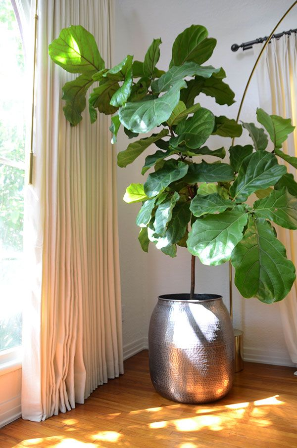 Want to add some earthiness to your living space? Try a fiddle leaf fig tree. The care is super easy for those who may not have the greenest thumb.
