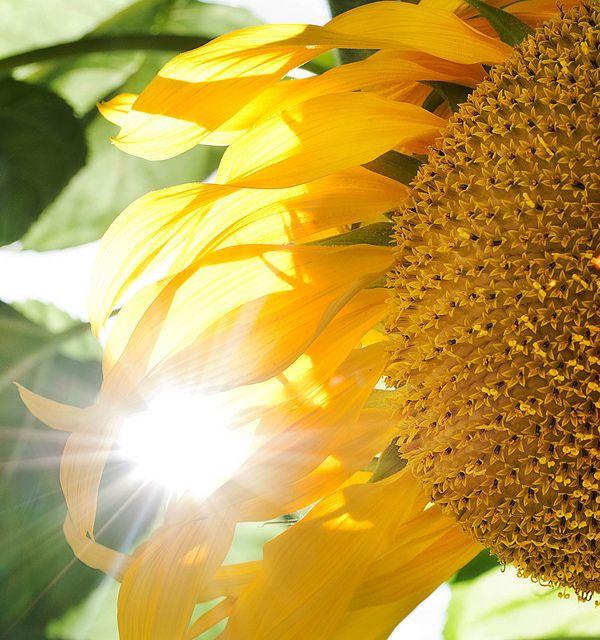 Sun Flare Sunflower by JTSiemer