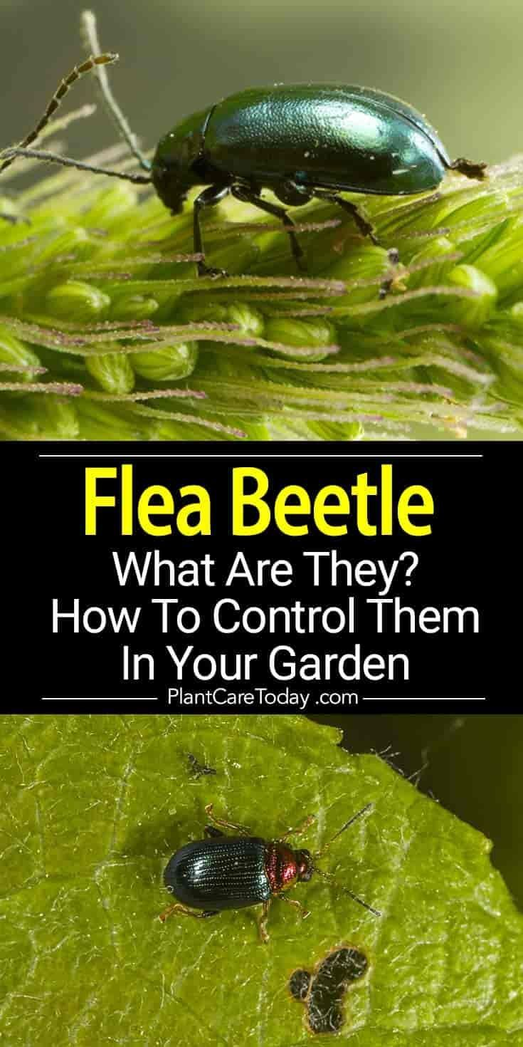 e4d60a4b22d21b983fc80da79862282d - How To Get Rid Of Flea Beetles In House