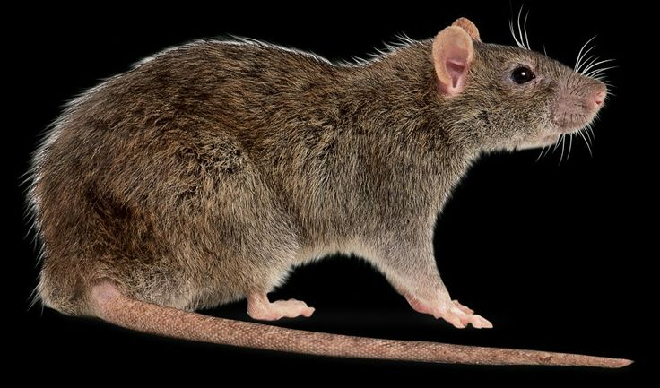 10 mejores imágenes de Rats en Pinterest | Ratas, Roedores y Ratas ...