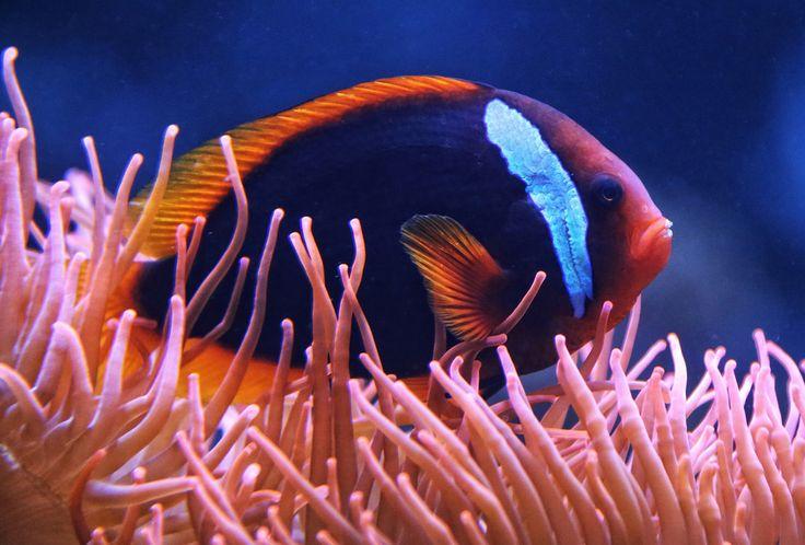 Andy von der Wurm posted a photo:  Weißbinden-Glühkohlen-Anemonenfisch ------- Der Weißbinden-Glühkohlen-Anemonenfisch (Amphiprion frenatus), auch Roter Anemonenfisch genannt, ist eine Fischart aus der Familie der Riffbarsche. Er lebt in den Korallenriffen an den Küsten des westlichen Indonesiens, der Philippinen, im Südchinesischen Meer, im Golf von Thailand, an den Küsten Taiwans und des südlichen Japan in Wassertiefen von einem bis 12 Metern. Der Körper und die Flossen des Fisches sind…