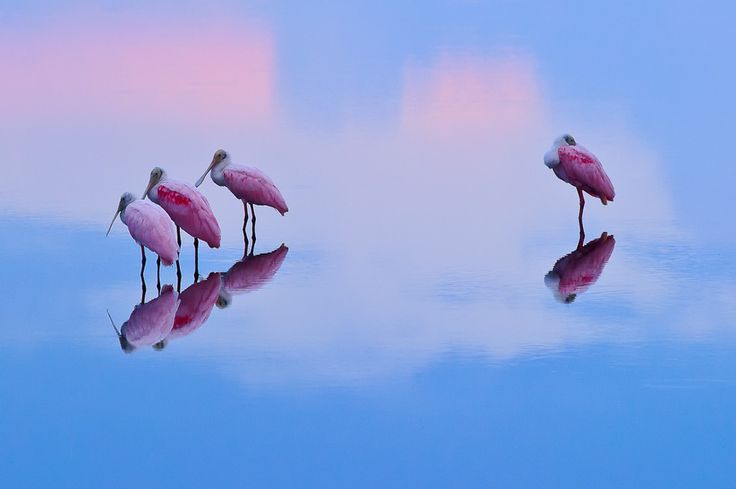 Roseate Spoonbills Reflection (2)