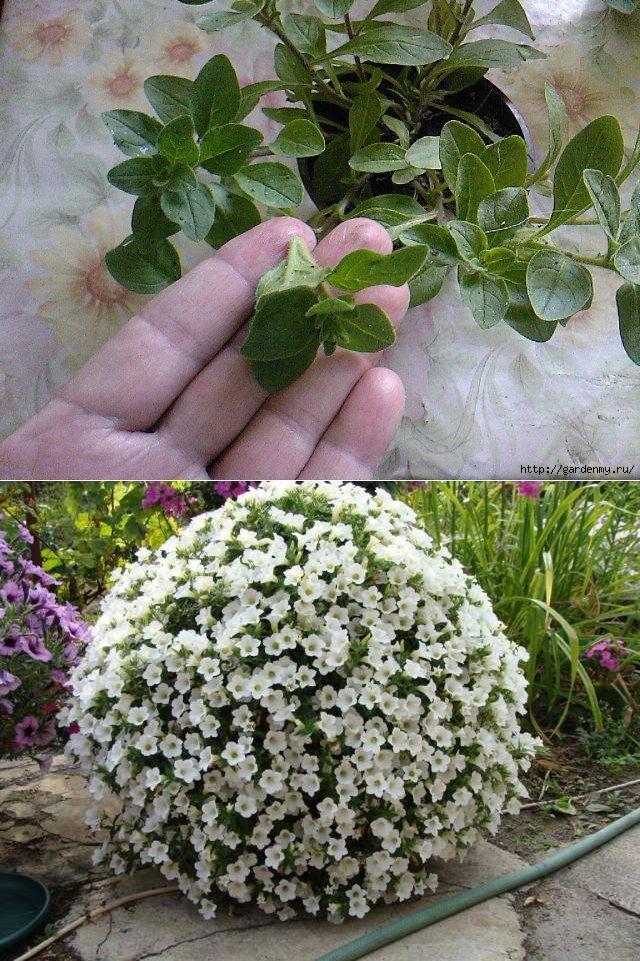 Супер пышная петуния! Что делать чтобы петуния росла 'шариком'? | сад, огород | Постила