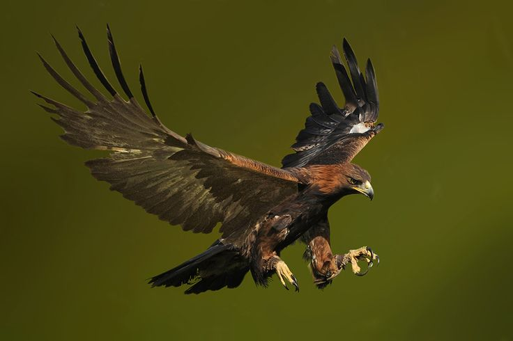 Photo Golden Eagle Landingv by Ronald Coulter on 500px