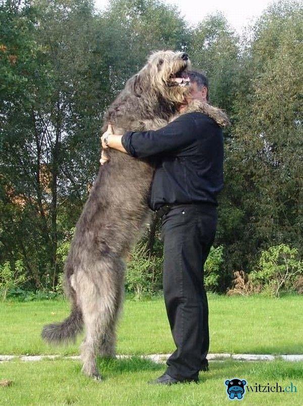 die 25 besten ideen zu irischer wolfshund welpen auf pinterest irischer wolfshund irische. Black Bedroom Furniture Sets. Home Design Ideas