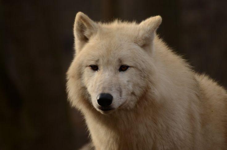 White Wolf 54 by Lakela.deviantart.com