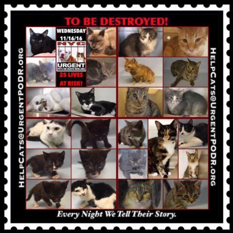 "TO BE DESTROYED 11/16/16 - - Info  Please Share:Please share View tonight's list here: http://nyccats.urgentpodr.org/tbd-cats-page/  The shelter closes at 8pm. Go to the ACC website( http:/www.nycacc.org/PublicAtRisk.htm) ASAP to adopt a PUBLIC LIST cat (noted with a ""P"" on their profile) and/or … CLICK HERE FOR ADD...-  Click for info & Current Status: http://nyccats.urgentpodr.org/to-be-destroyed-091716/"