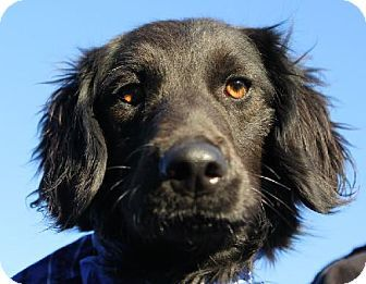 Delilah - URGENT ACT QUICKLY DOGS AT THIS SHELTER ARE ONLY HELD FOR A SHORT AMOUNT OF TIME - Labrador Retriever/Irish Setter mix - 1 yr old - Oxford, MS - Oxford Lafayette Humane Society - http://oxfordpets.com - http://www.adoptapet.com/pet/10210758-oxford-mississippi-labrador-retriever-mix