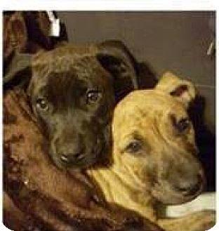 Tampa, FL Labrador Retriever/Boxer Mix. Meet Leila, a
