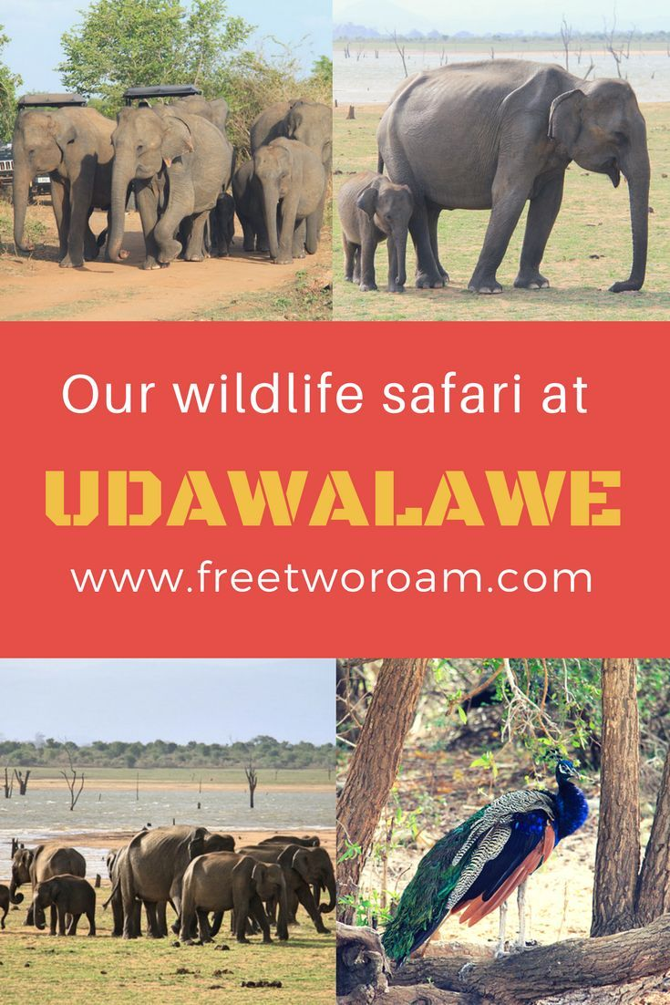 Read about our visit to Udawalawe National Park in Sri Lanka. It's the best place in Asia to see elephants in their natural habitat.