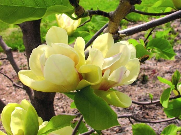 Magnolia Sunsation, Sunsation Magnolia, Yellow magnolia, Winter flowers, Spring flowers, Yellow flowers, fragrant trees, fragrant flowers
