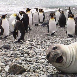 Seal photobombs penguins! Funny animals are the best. #selfie #joke #beach