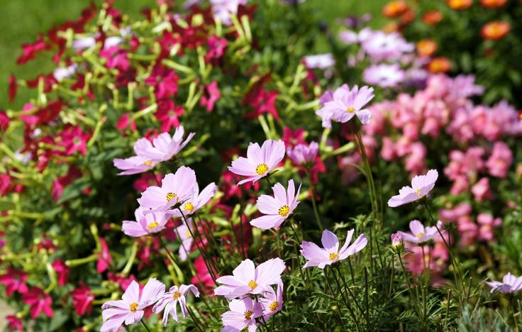 Like planting daffodil bulbs in October, the fall sowing of annual seeds is an investment in next spring's flower garden.