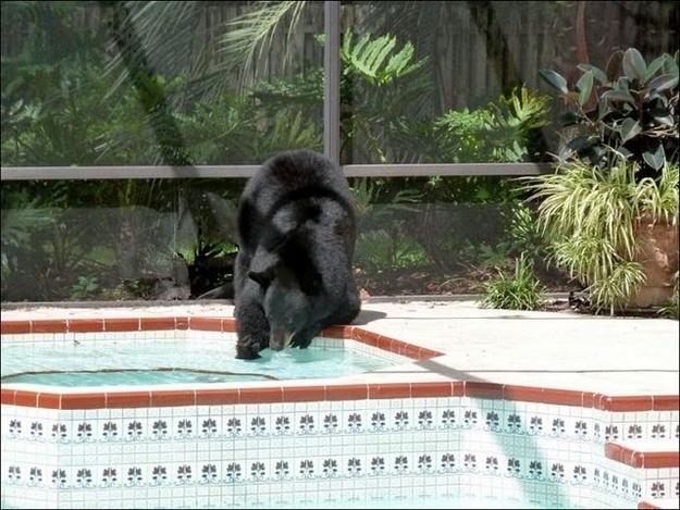 Thirsty bearFlorida Pools