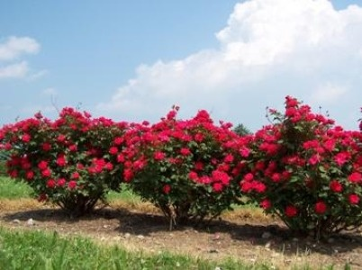 Fast growing to 3 to 4 ft. tall and wide Double Knockout Rose - Deciduous, blooms spring through fall. Zone 4-9 Water regularly, when top 3 in. of soil is dry
