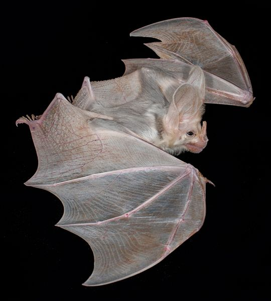 The Ghost Bat (Macroderma gigas), also known as the 'False Vampire' bat is native to Australia.