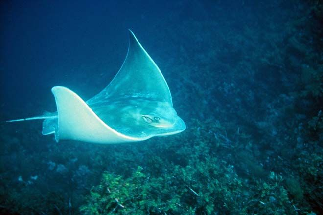 Image result for eagle ray nz