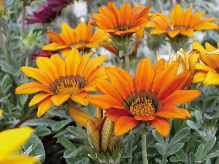 5 hardy small flowering plants for borders this spring #garden #grow #flower #colour #joy #hardy #borders #aboutthegarden #atg2014 #gardeningaustralia #growit
