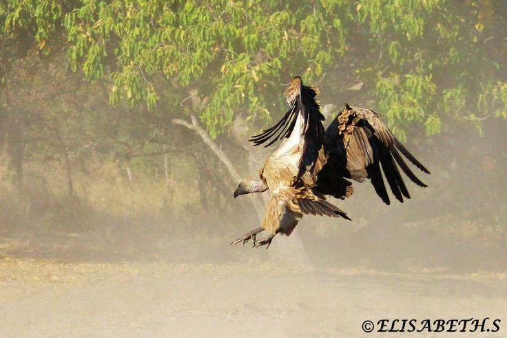 Vulture Landing in Kruger Park