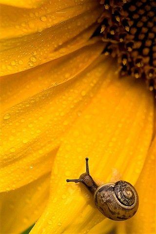 Sunny Snail by rutgerbus via dpreview #Photography #Snail #Sunflower