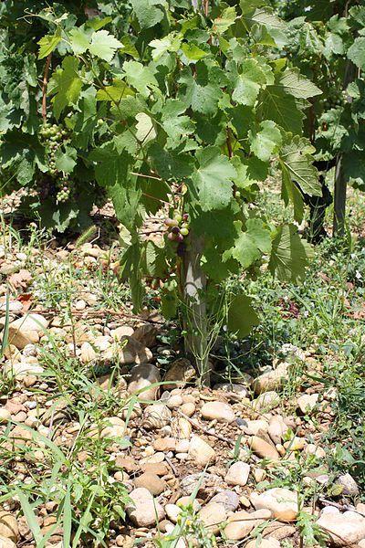 File:Cep de vigne sur galets à Tain l'Hermitage.jpg