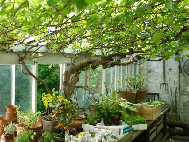 TS-200391680-001_vines-growing-in-greenhouse_s3x4.jpg.rend.hgtvcom.616.462.jpeg (616×462)