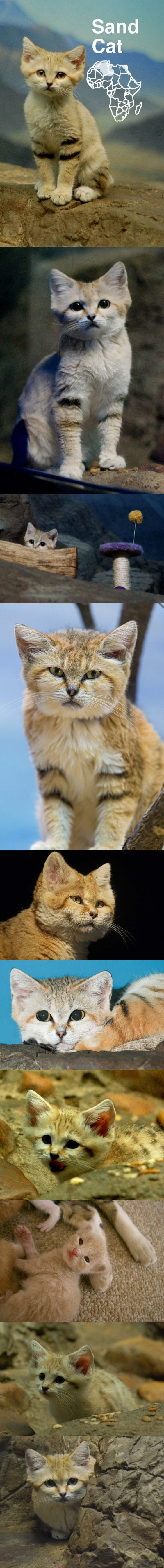 67 best Sand Cats images on Pinterest | Sand cat, Cute kittens and ...