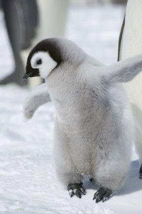 赤ちゃんペンギンのモフモフ画像集                                                                                                                                                                                 もっと見る