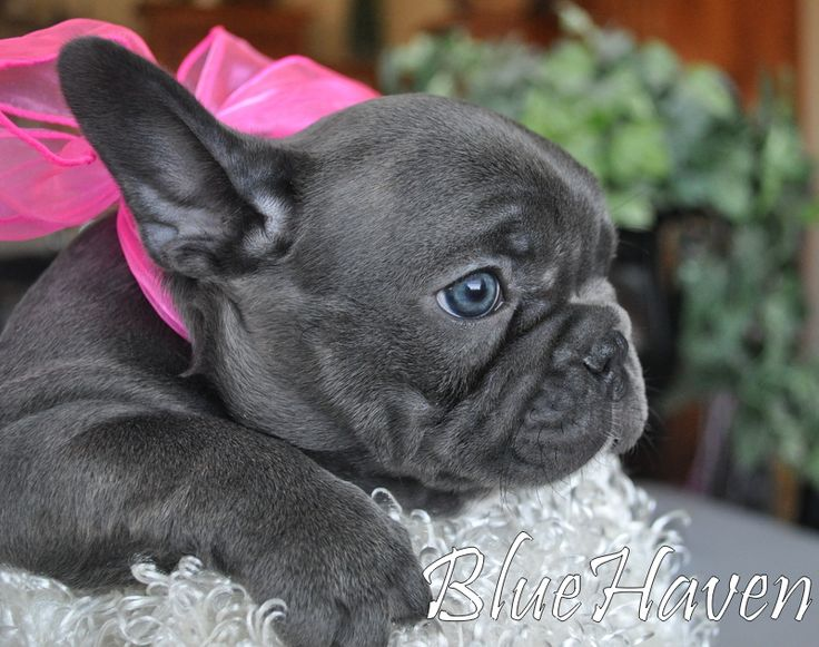 Blue French Bulldog Puppy                                                                                                                                                     More