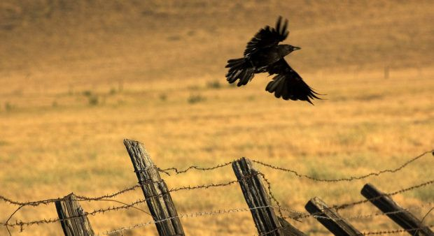 Challenges of crow hunting