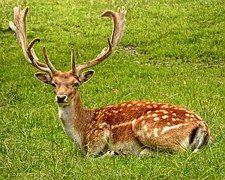Antler, Antler Carrier, Fallow Deer