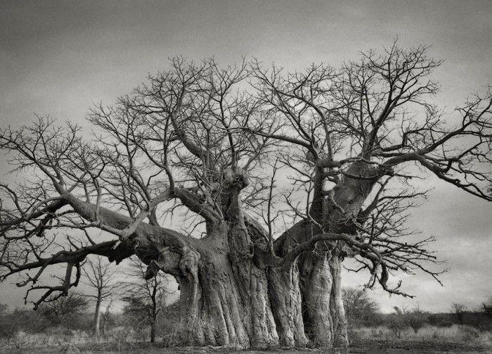 staroveke-stromy6