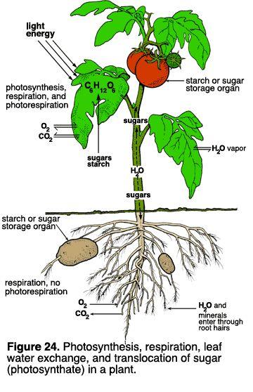 herbs photsynthesis