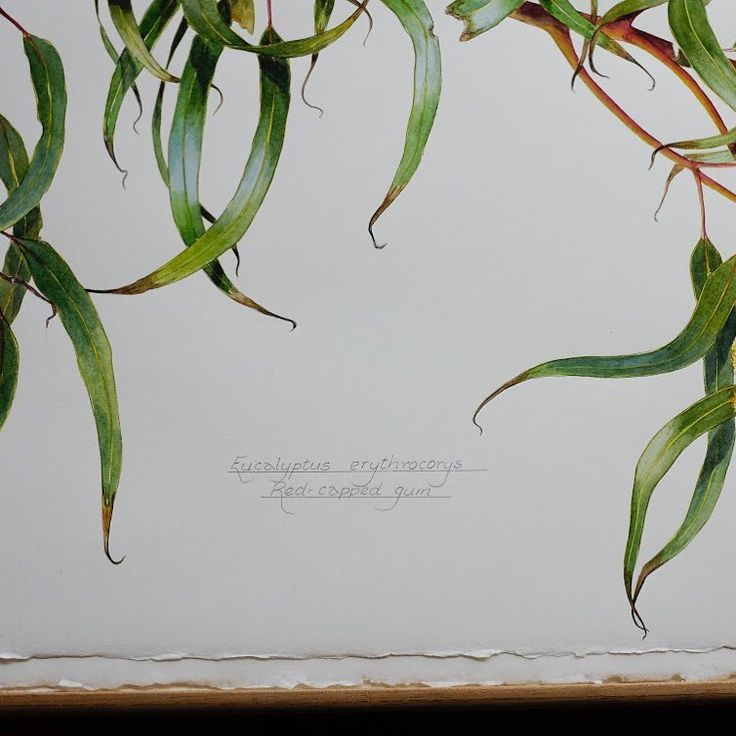 """33 Likes, 1 Comments - Philippa Nikulinsky (@philippa.nikulinsky) on Instagram: """"Detail of """"Eucalyptus erythrocorys, Red-capped gum"""" - the newest painting by Philippa Nikulinsky"""""""
