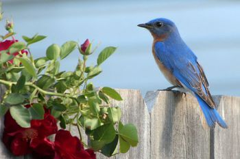 Tips for how to attract birds with different types of shelter, including both natural shelters, supplemental bird houses, and other types.