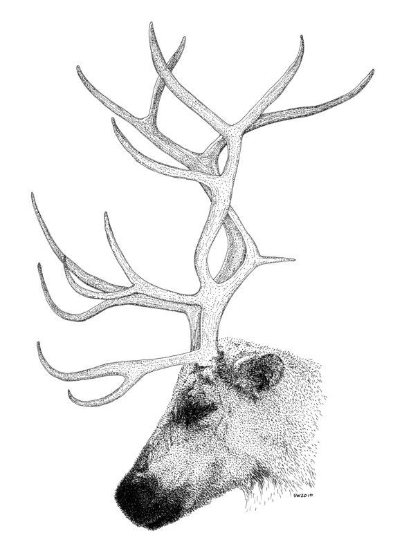 Reindeer Face Line Drawing : The best reindeer drawing ideas on pinterest
