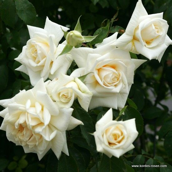 Růže Ilse Krohn Superior