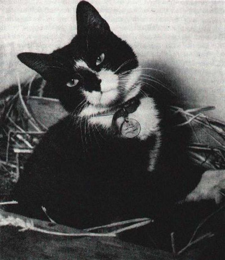 mostlycatsmostly:  Unsinkable Sam, World War II ship's cat who survived the sinking of the Bismarck, HMS Cossack, and HMS Ark Royal. (submitted by @peashooter85)