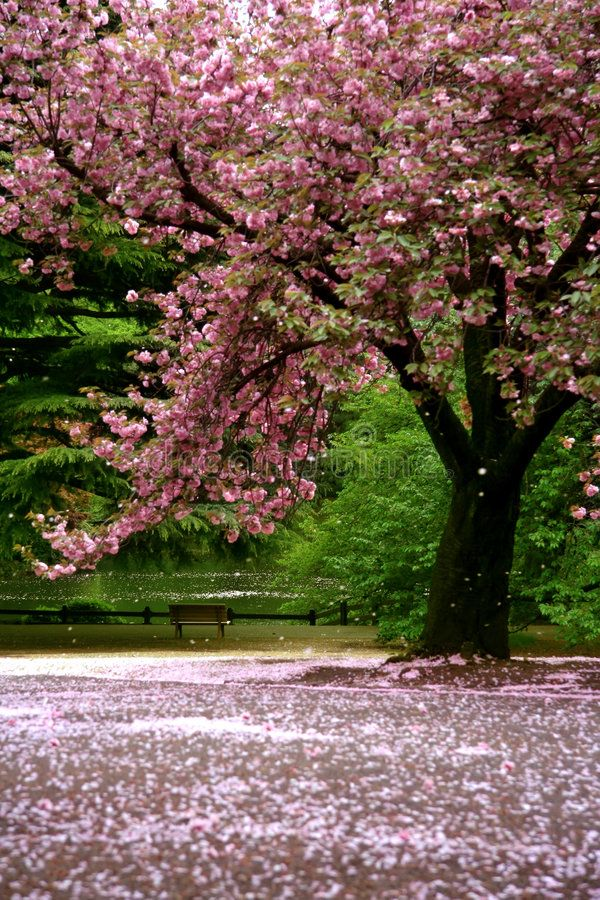 Incredible Scene Cherry Blossom Snow With Green Garden And A Lake In The Back Aff Snow Gre Cherry Blossom Snow Scenes Photography Cherry Blossom Tree