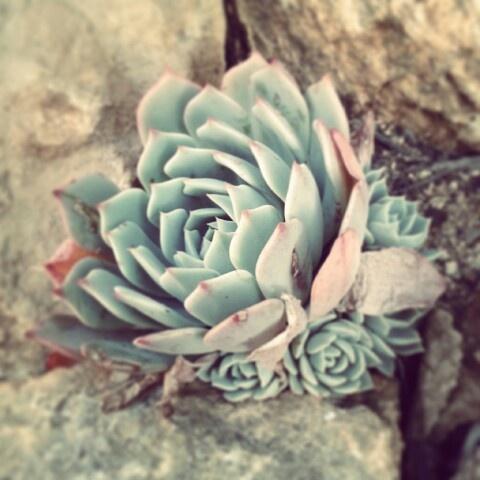 Pastel succulent rock rose