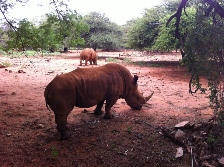 The closest I've ever been to a rhino ...